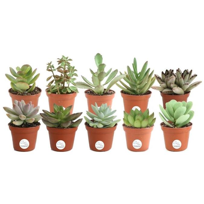 Echeveria Succulent Assortment, Excludes: AZ, AZ Grower/'s Select