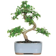 Deals on Brussels Bonsai 6-in Chinese Elm in Clay Planter CT9005CE