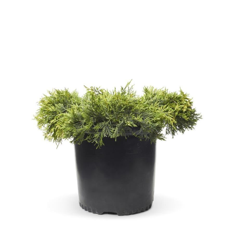 2.25-Gallon Old Gold Juniper Accent Shrub (L10110)