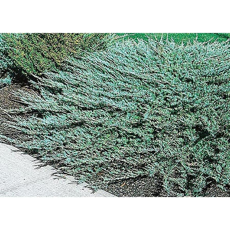 2.5-Quart Bar Harbor Juniper Accent Shrub (L5310)