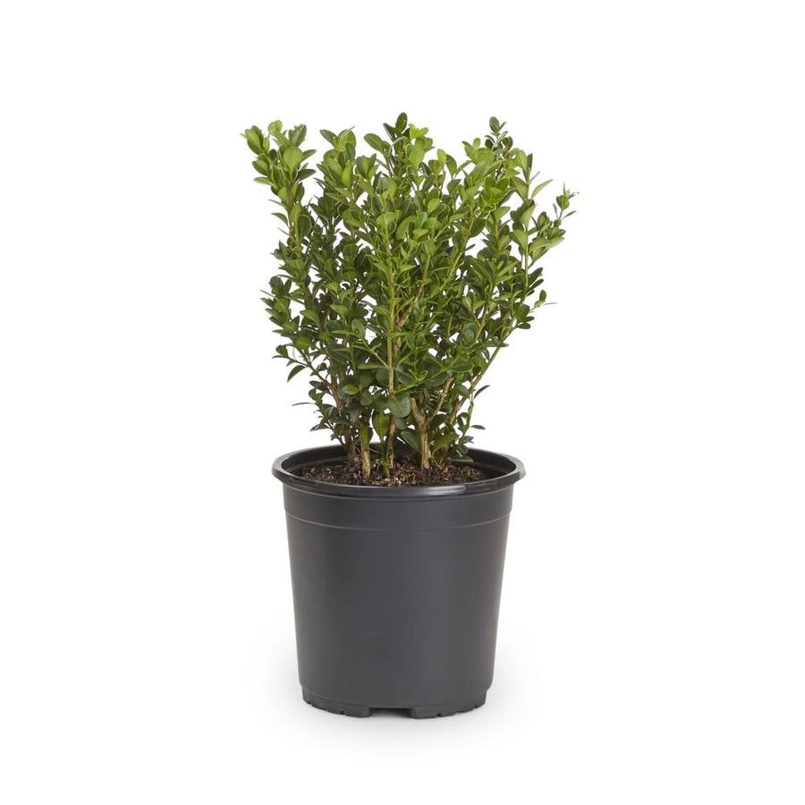 Shop 2 5 quart wintergreen boxwood foundation hedge shrub for Garden shrubs