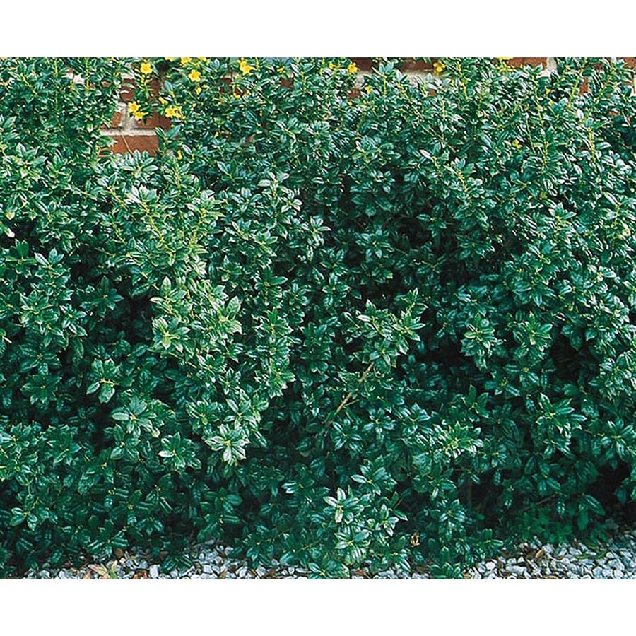 3.25-Gallon Dwarf Burford Holly Foundation/Hedge Shrub (L7074)