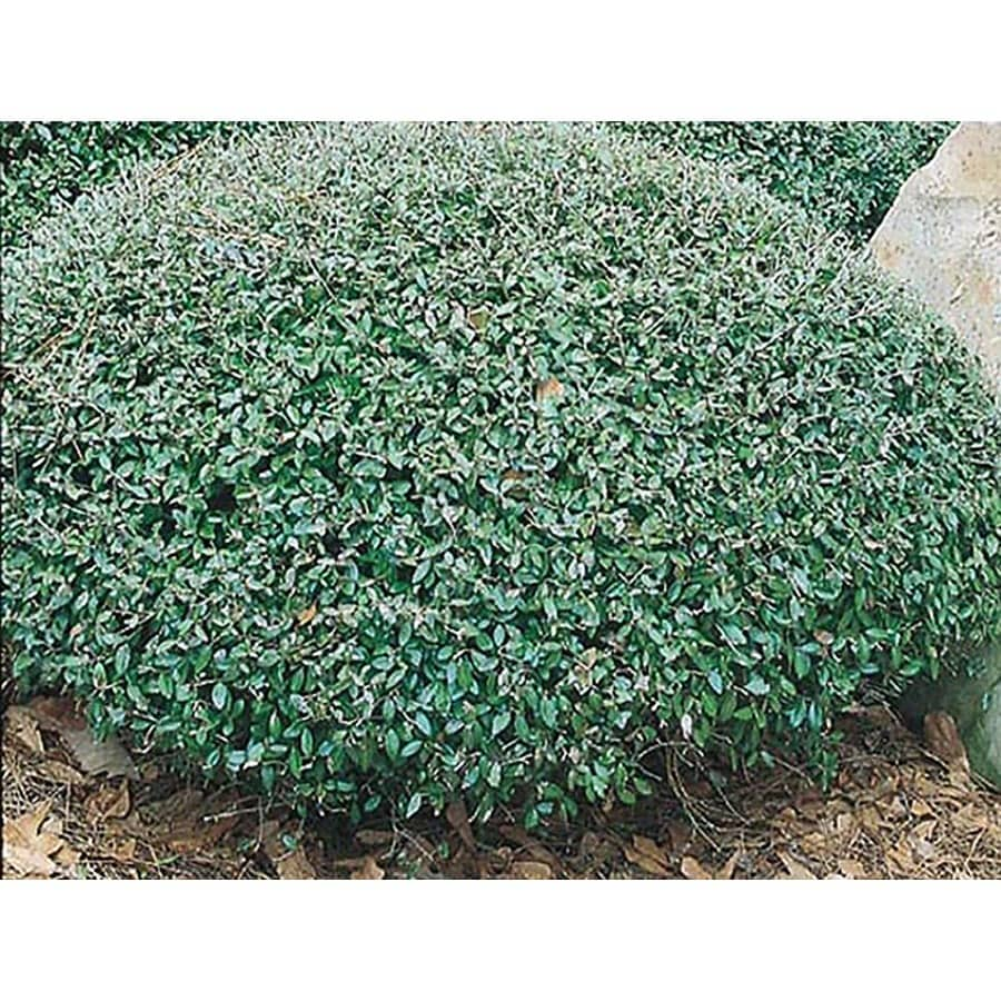 2.5-Quart Schillings Dwarf Yaupon Holly Foundation/Hedge Shrub (L8261)