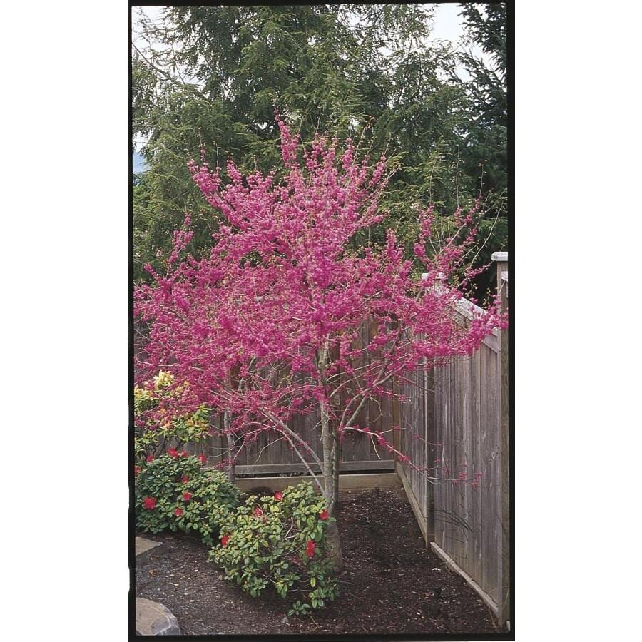 3.25-Gallon Oklahoma Redbud Flowering Tree (L1158)