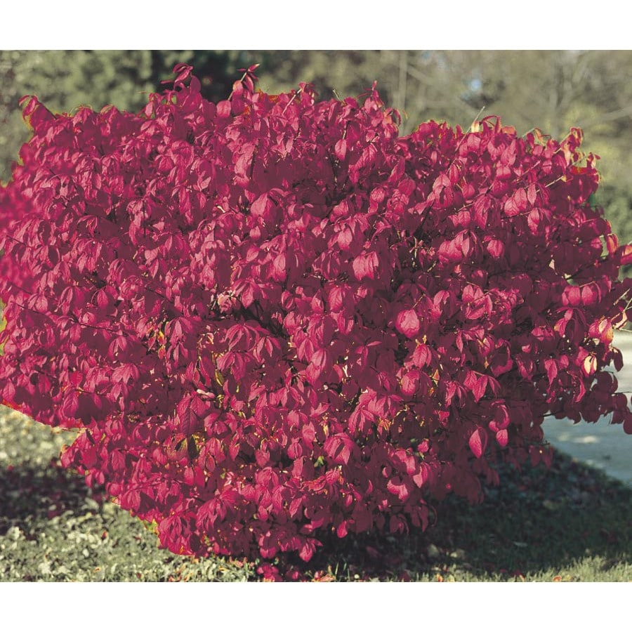 6-Gallon Burning Bush Foundation/Hedge Shrub (L1008)