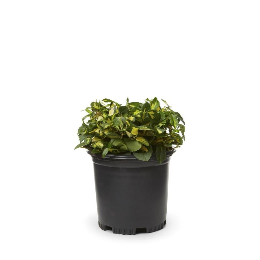 2.5-Quart Moonshadow Euonymus Accent Shrub (L7692)