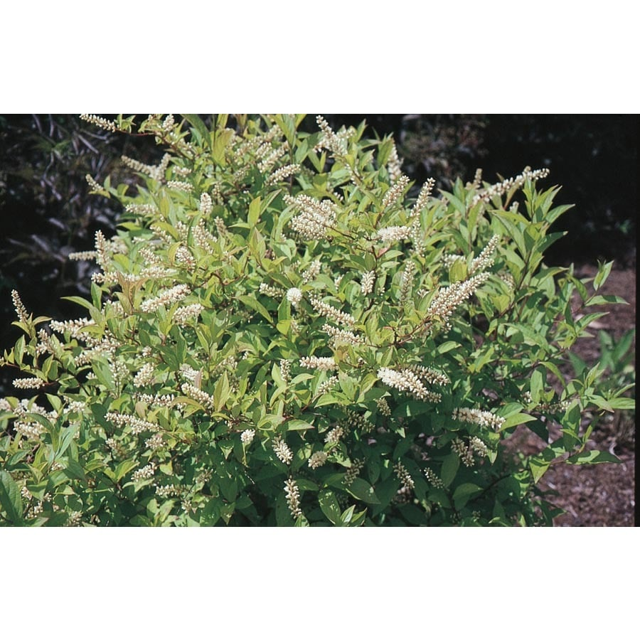 2.25-Gallon White Henry's Garnet Sweetspire Flowering Shrub (L7186)