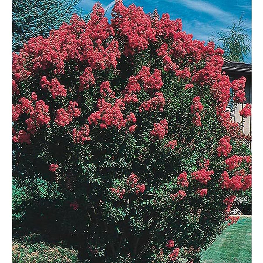 3.25-Gallon Crape Myrtle Flowering Tree (L6644)