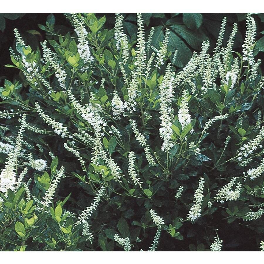 2.65-Gallon White White Summersweet Flowering Shrub (L6577)