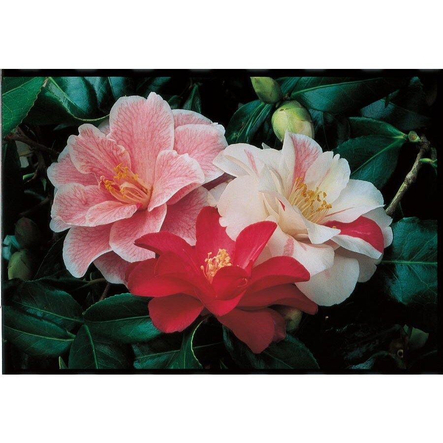 2.5-Quart Varies Camellia Flowering Shrub (L3455)