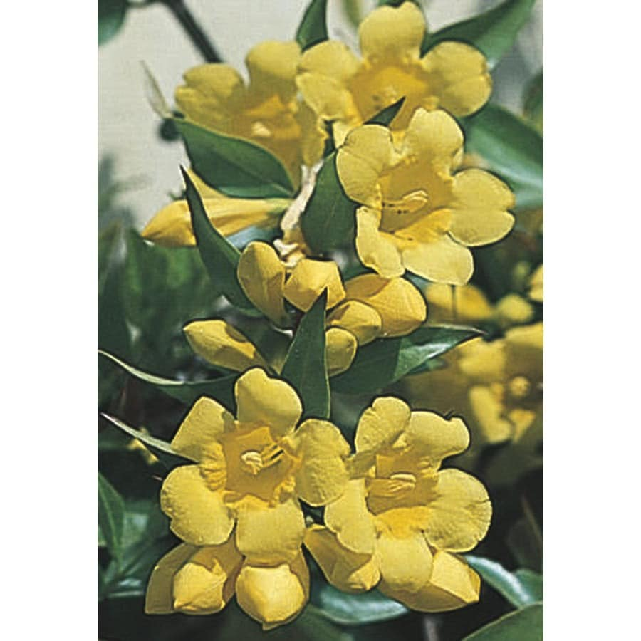 2.5-Quart Carolina Jessamine (L7472)