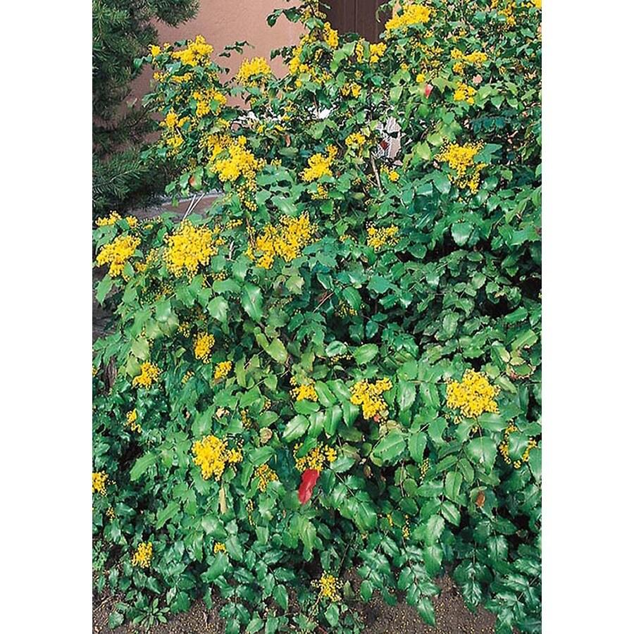 2.5-Quart Yellow Oregon Grape Holly Accent Shrub (L5649)