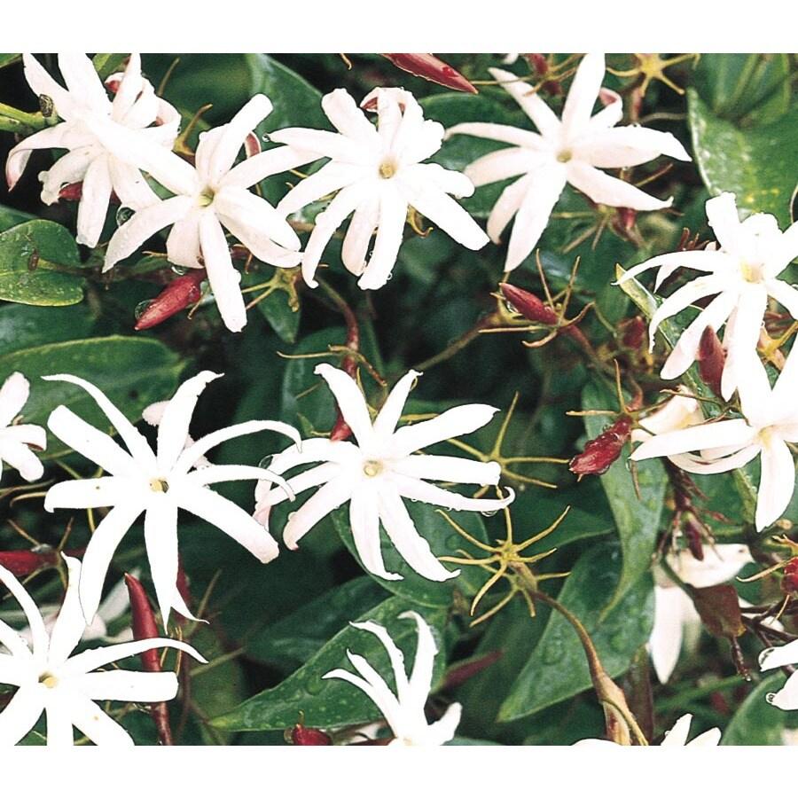 2.5-Quart Star Jasmine (L8609)