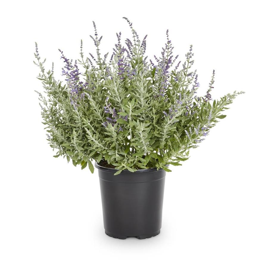 2.5-Quart Purple Silverado Sage Flowering Shrub (L8621)