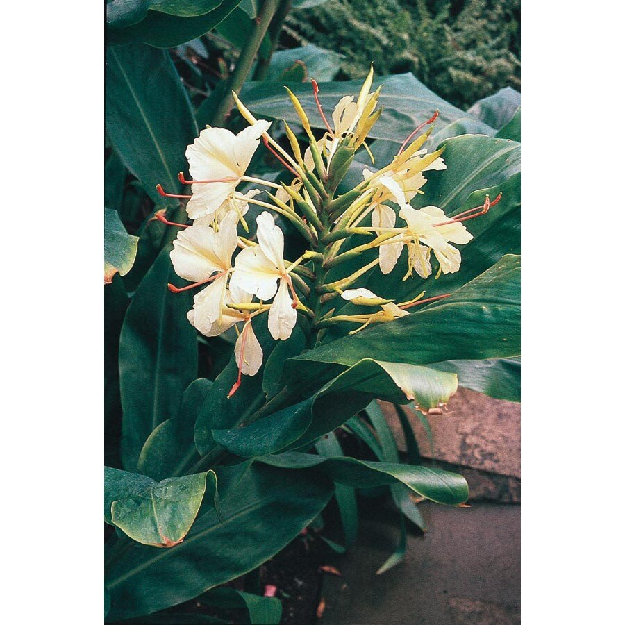 1.7-Gallon Ginger Lily (Lw00495)