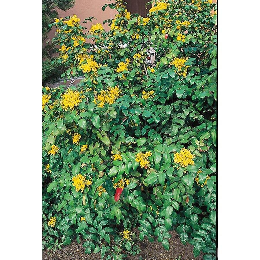 2.25-Gallon Yellow Oregon Grape Holly Accent Shrub (L5649)