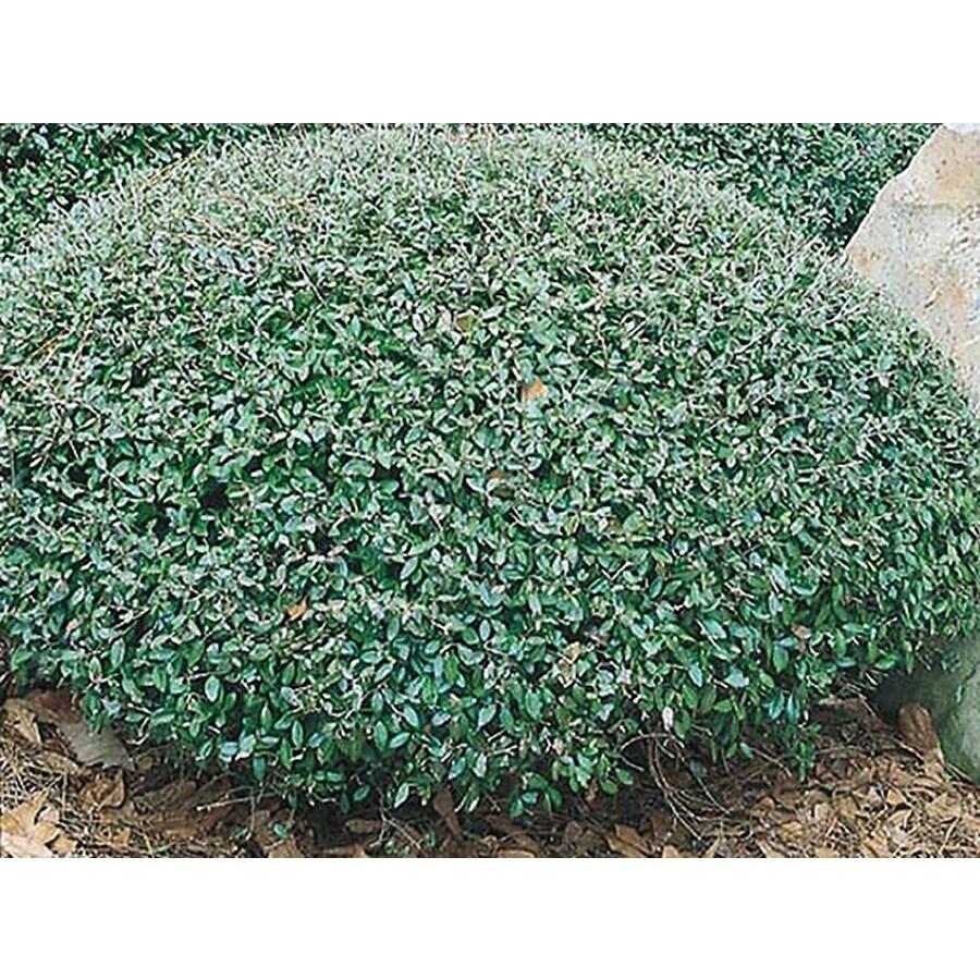 2.25-Gallon Schillings Dwarf Yaupon Holly Foundation/Hedge Shrub (L8261)