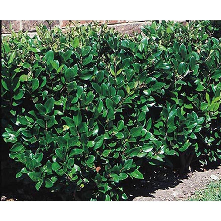 5.5-Gallon White Waxleaf Ligustrum Foundation/Hedge Shrub (L3255)