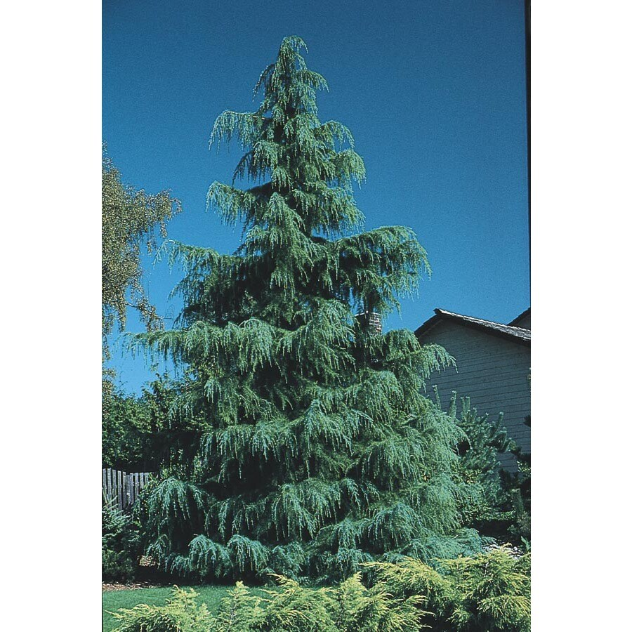 Blue Cedar Tree Varieties ~ Shop gallon deodar cedar feature tree l at lowes