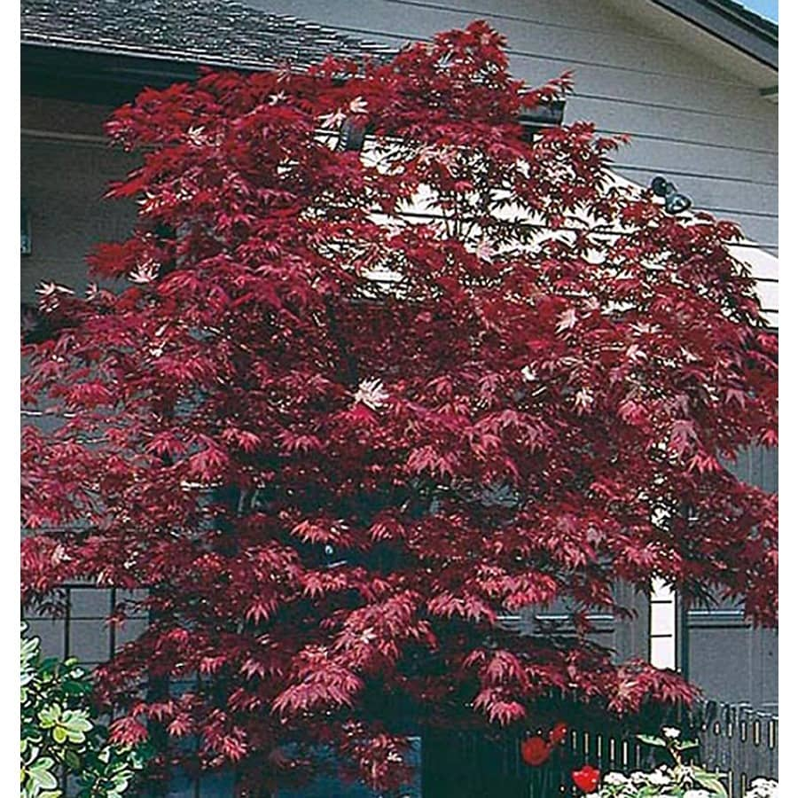 19.5-Gallon Assorted Upright Japanese Maple Feature Tree (L5413)
