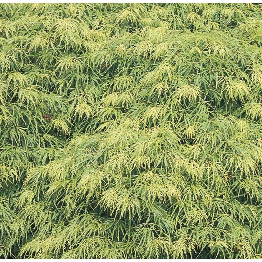 8-Gallon Laceleaf Japanese Maple Feature Tree (L11472)