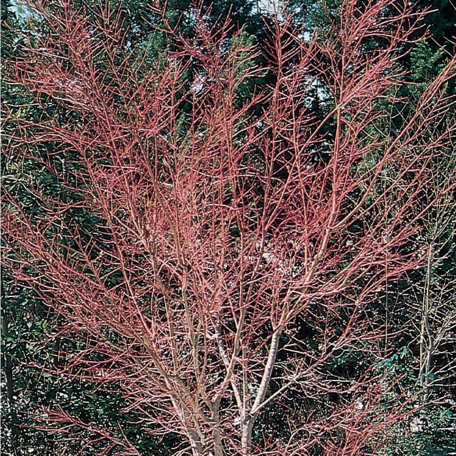 3.25-Gallon Coral Bark Japanese Maple Feature Tree (L7231)