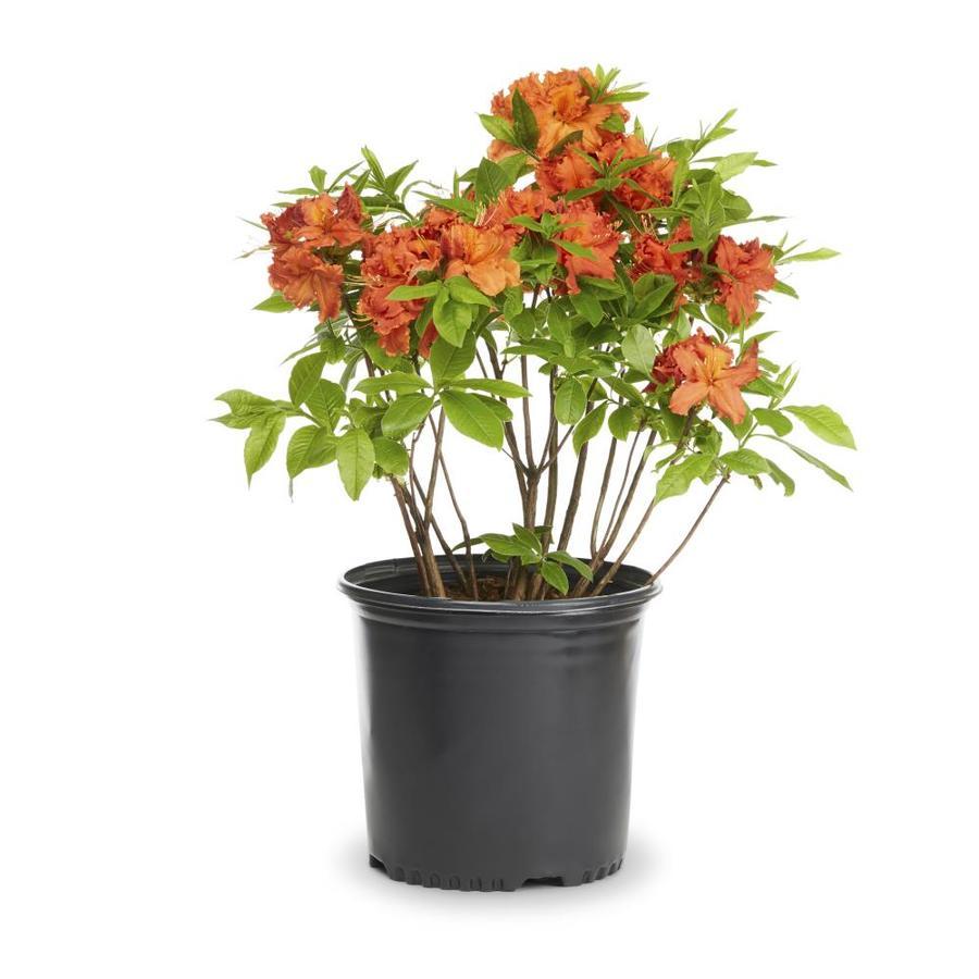 2.25-Gallon Mixed Exbury Hybrid Azalea Flowering Shrub (L5160)