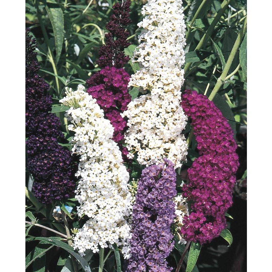 3.25-Gallon Purple Butterfly Bush Flowering Shrub (L8073)