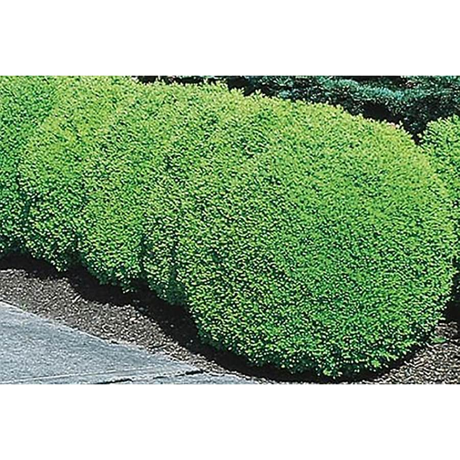 3.25-Gallon Green Mountain Boxwood Foundation/Hedge Shrub (L7204)