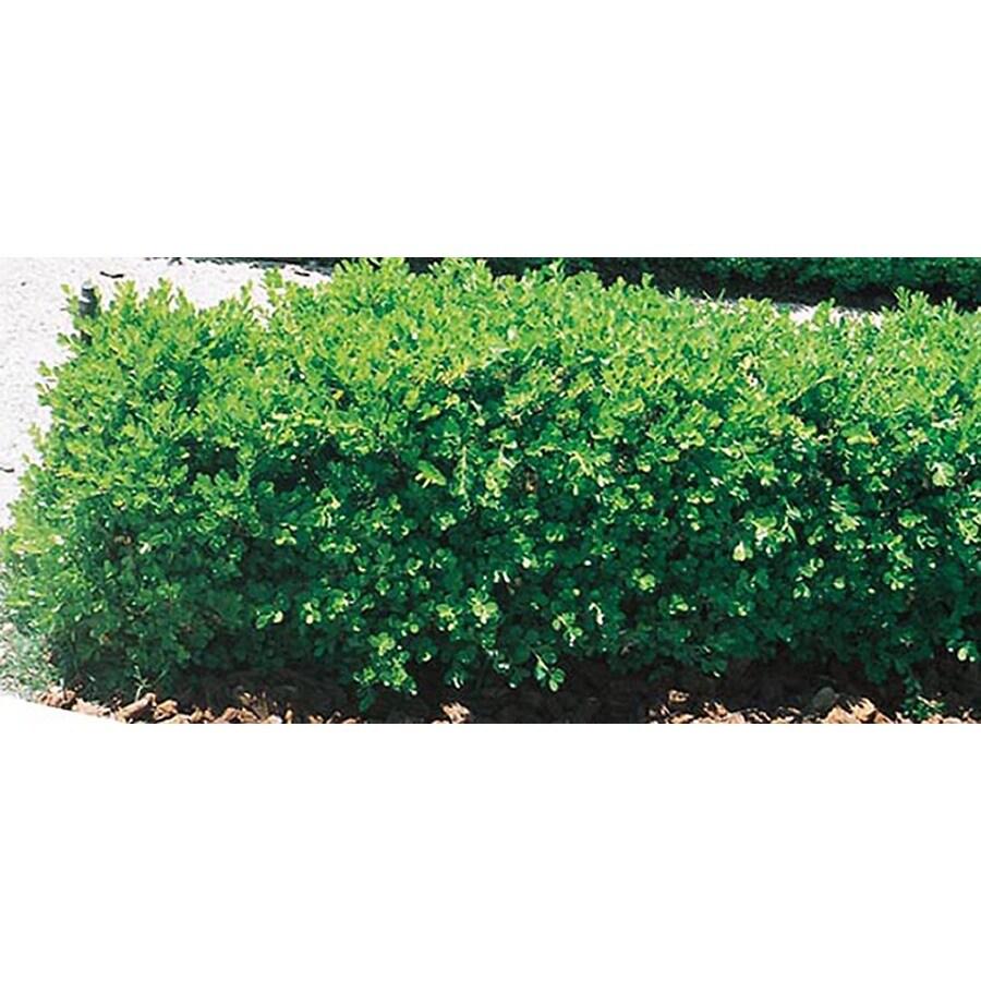 3.25-Gallon Japanese Boxwood Foundation/Hedge Shrub (L5873)