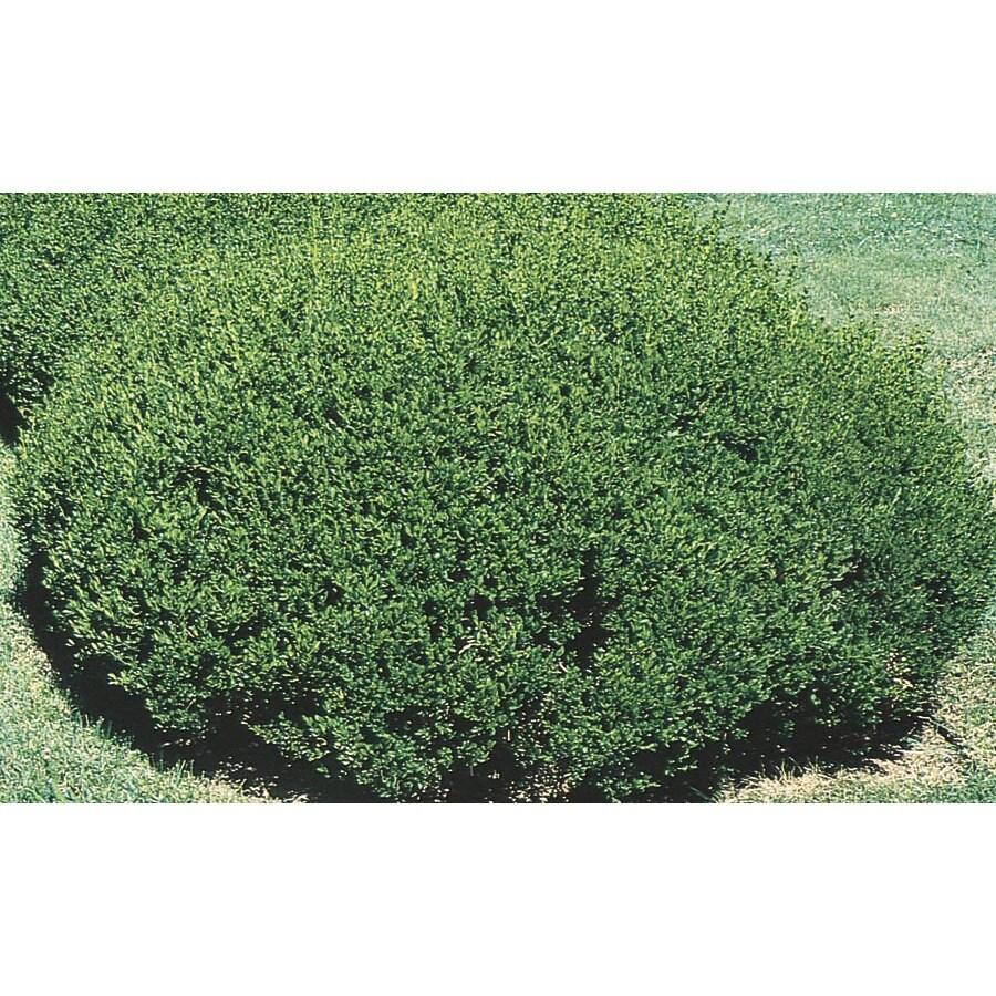 7.15-Gallon Green Beauty Boxwood Foundation/Hedge Shrub (L3841)