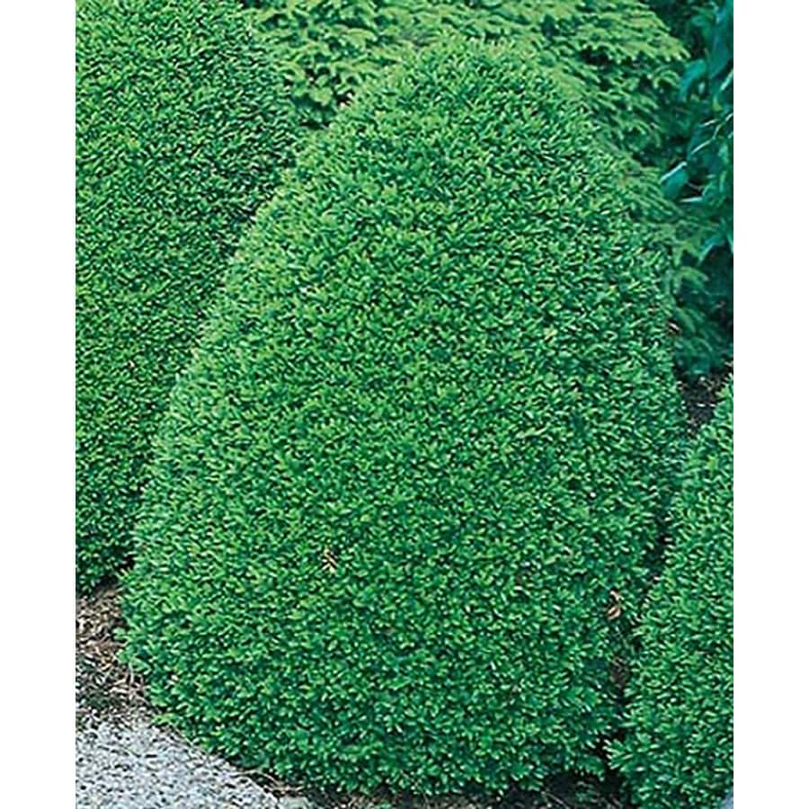 1.5-Gallon Common Boxwood Foundation/Hedge Shrub (L2572)