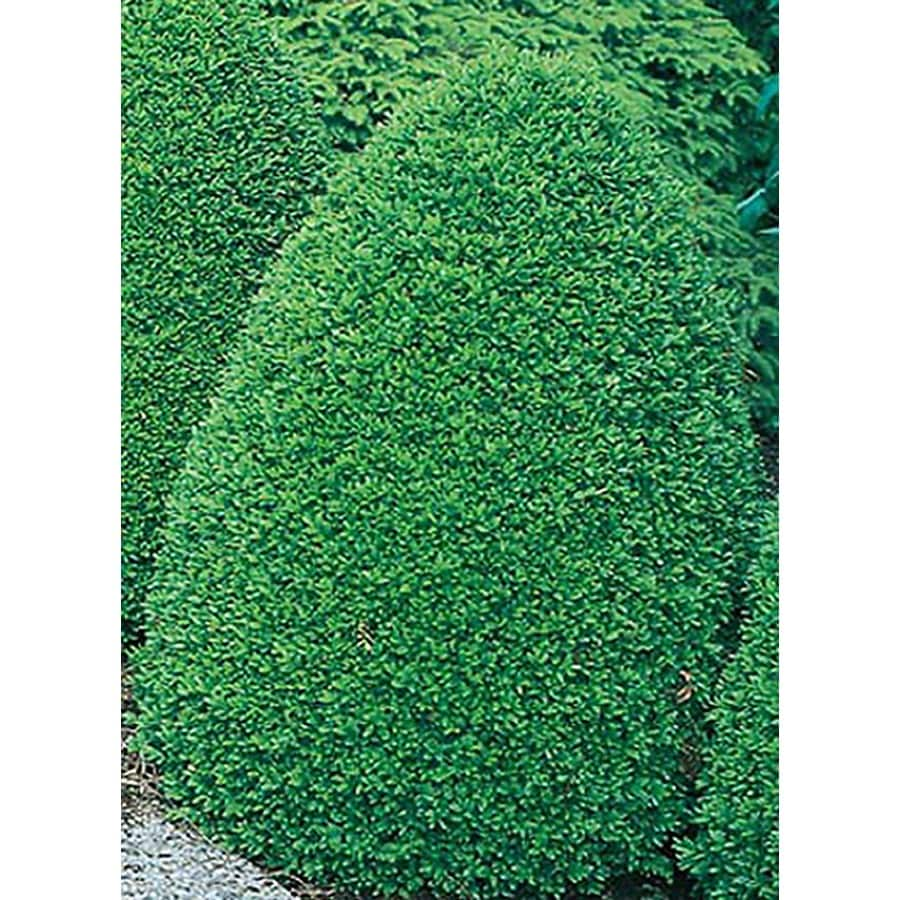 5.5-Gallon Common Boxwood Foundation/Hedge Shrub (L2572)