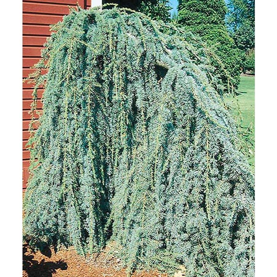 8.75-Gallon Weeping Blue Atlas Cedar Feature Tree (L8098)