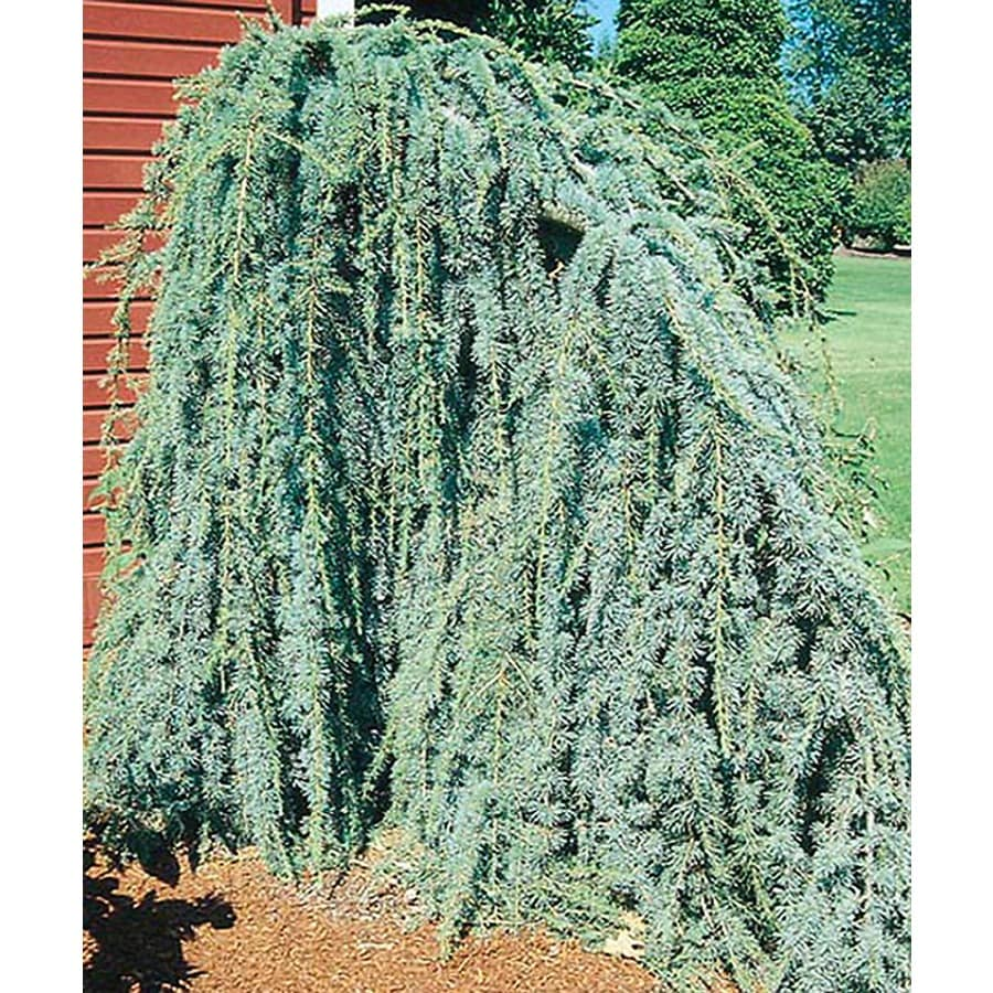5.5-Gallon Weeping Blue Atlas Cedar Feature Tree (L8098)