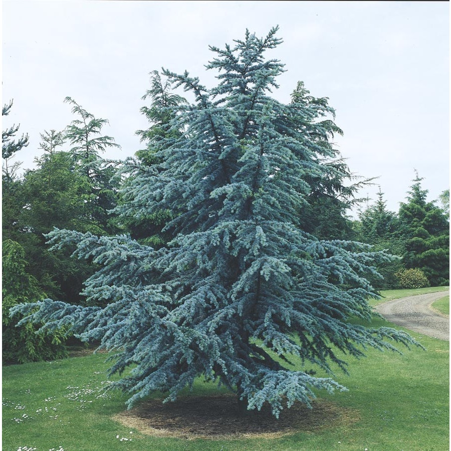 Shop 5 5 gallon blue atlas cedar feature tree l4673 at Cedar credit
