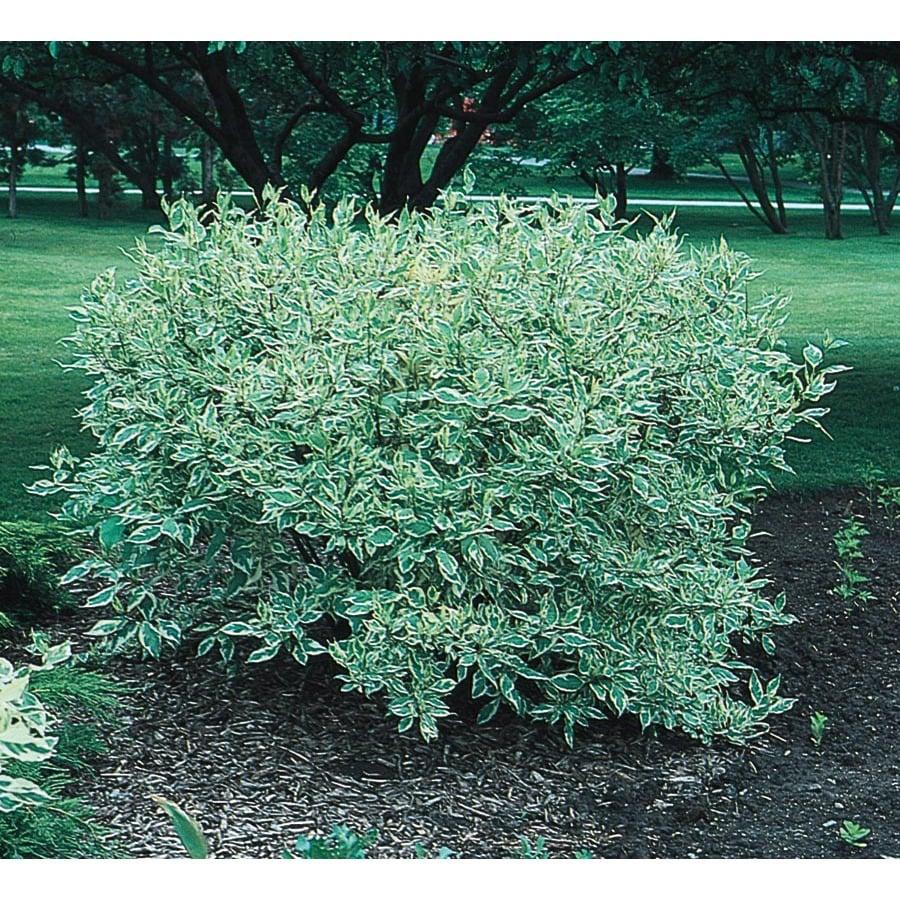 2.5-Quart White Variegated Dogwood Flowering Shrub (L6198)