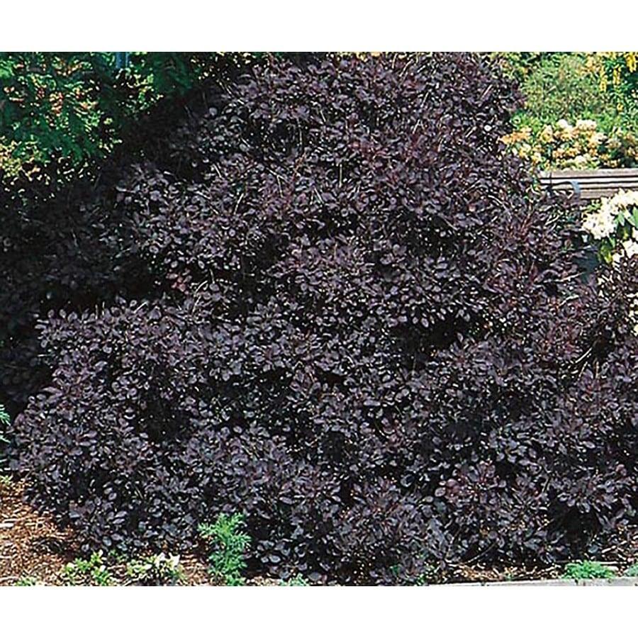 2.5-Quart Pink Royal Purple Smoketree Feature Shrub (L4698)