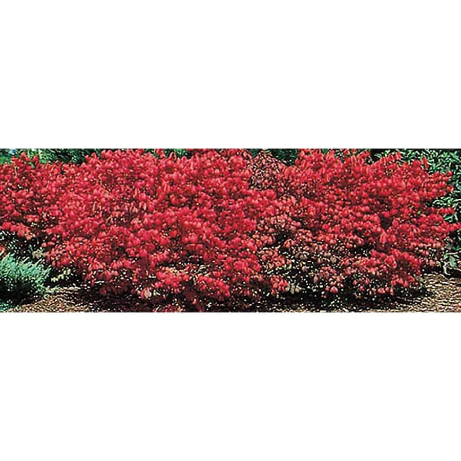 3.25-Gallon Dwarf Burning Bush Foundation/Hedge Shrub (L1009)