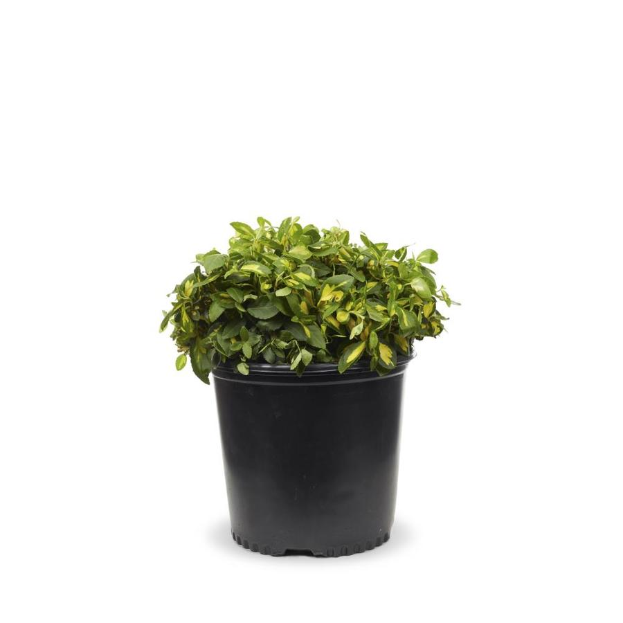 2.25-Gallon Moonshadow Euonymus Accent Shrub (L7692)