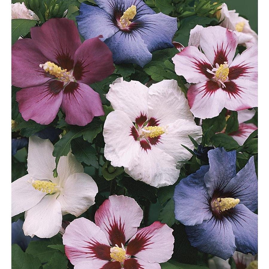 3.25-Gallon Mixed Rose of Sharon Flowering Shrub (L1203)