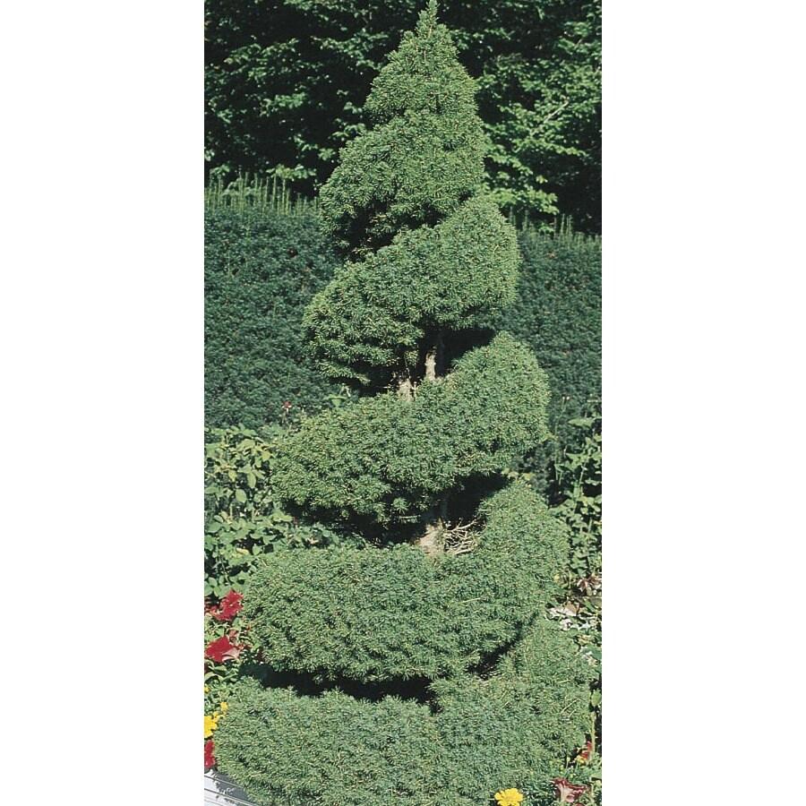 2.53-Gallon Spiral Dwarf Alberta Spruce Feature Tree (L7230)