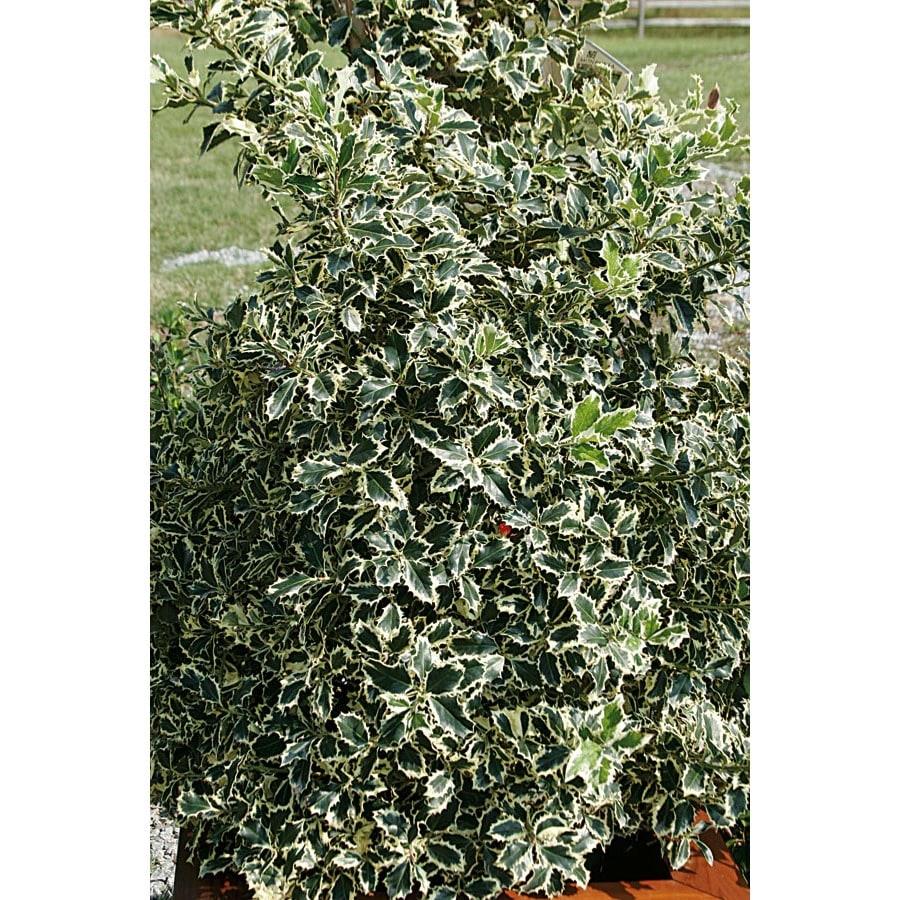 3.25-Gallon Variegated English Holly Foundation/Hedge Shrub (L6174)
