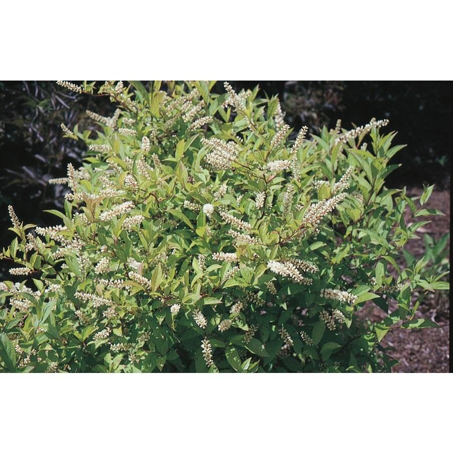 2.5-Quart White Henry's Garnet Sweetspire Flowering Shrub (L7186)