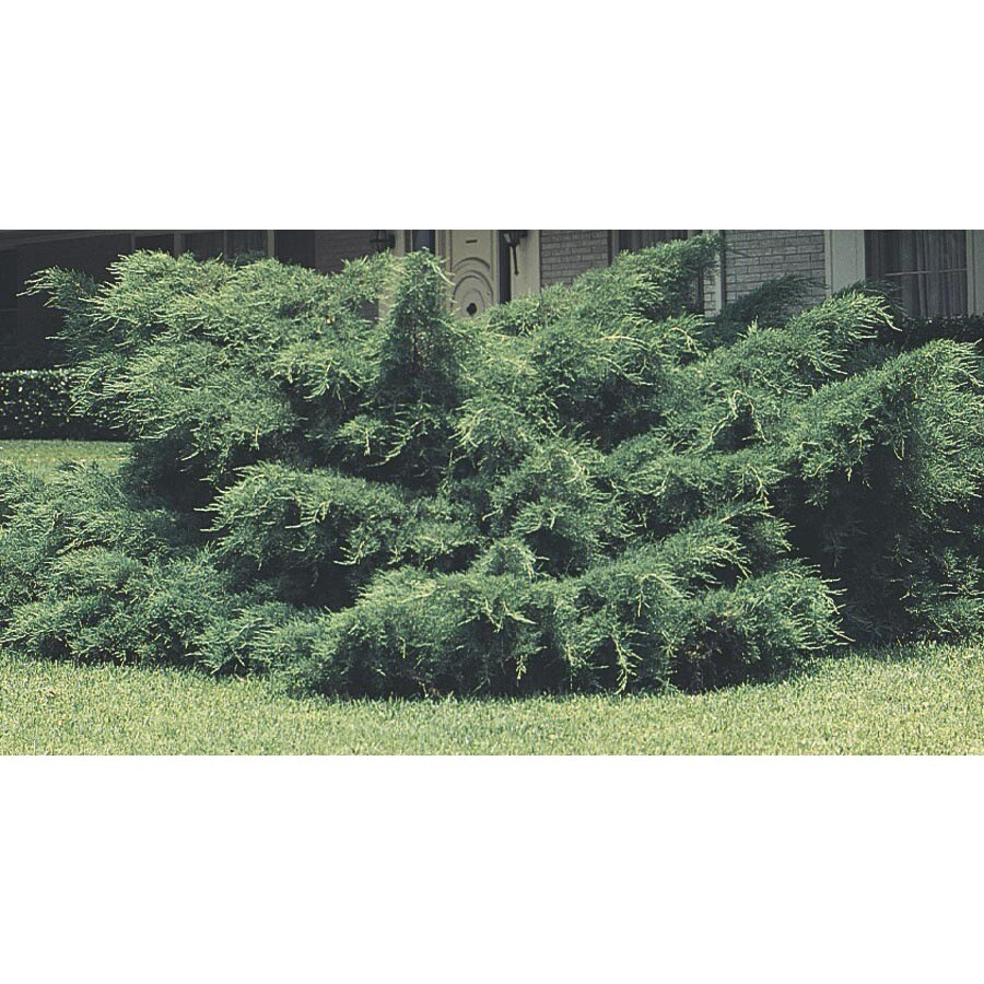 3.25-Gallon Pfitzer Juniper Feature Shrub (L5288)