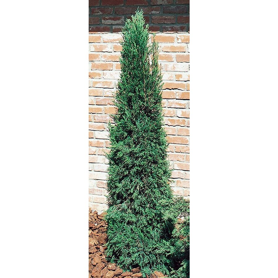 3.25-Gallon Spartan Juniper Feature Shrub (L4735)