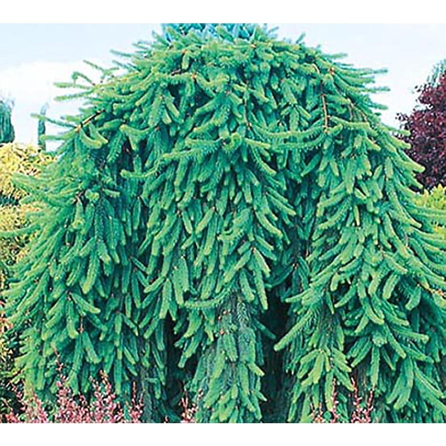 Shop 875 Gallon Weeping Norway Spruce Feature Shrub