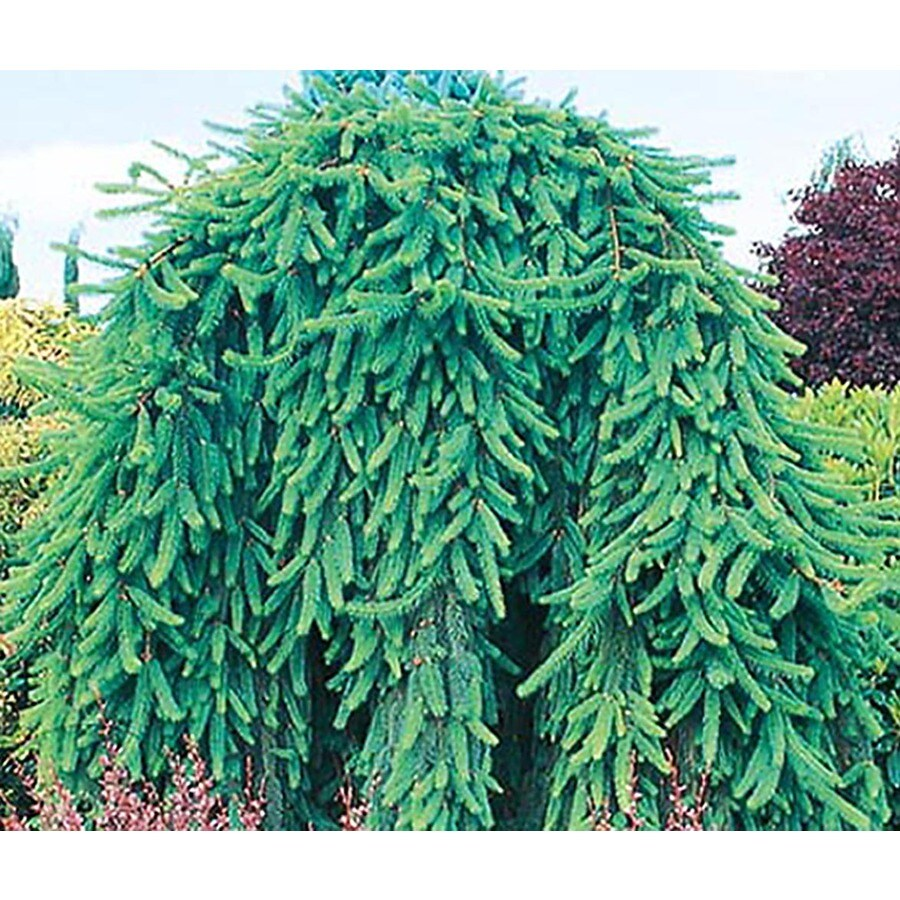 10.25-Gallon Weeping Norway Spruce Feature Shrub (L4097)