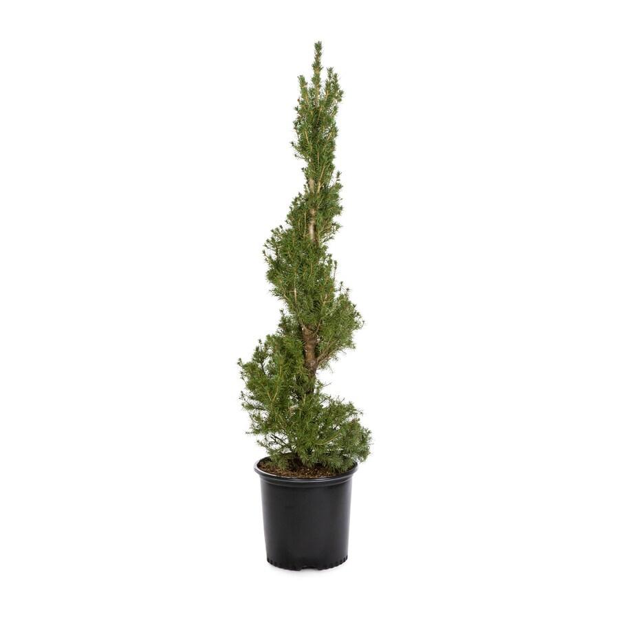2.25-Gallon Spiral Dwarf Alberta Spruce Feature Tree (L7230)