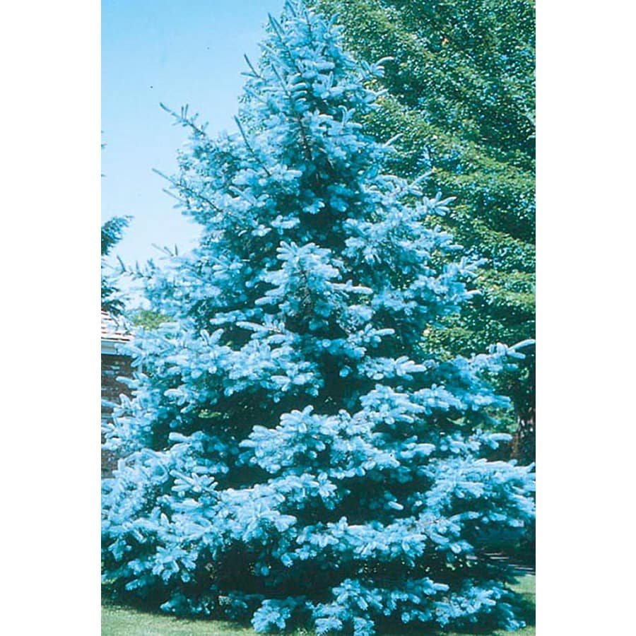 8.75-Gallon Bacheri Blue Spruce Feature Tree (LW02136)